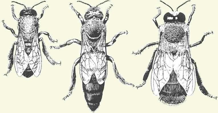 The Legs And Wings Of Honey Bees
