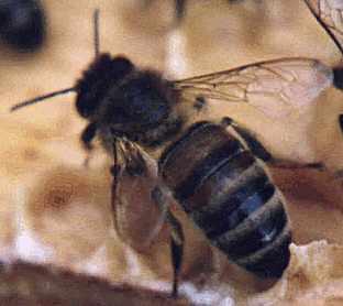 queen bee milk